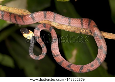 Amazon Flat Snake (Siphlophis compressus) climbing in a bush in rainforest, Ecuador