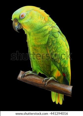 Amazon green Parrot. Amazona auropalliata. Black background Amazon. Colored pencil drawing Amazon Parrot. Classicdrawing Amazon Parrot. Detailed drawing Amazona auropalliata. - stock photo