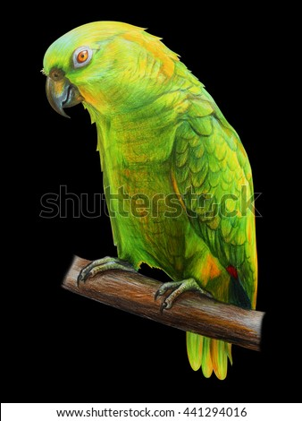 Amazon green Parrot. Amazona auropalliata. Black background. Colored pencil drawing Amazon Parrot. Classicdrawing Amazon Parrot. Detailed drawing Amazona auropalliata. - stock photo