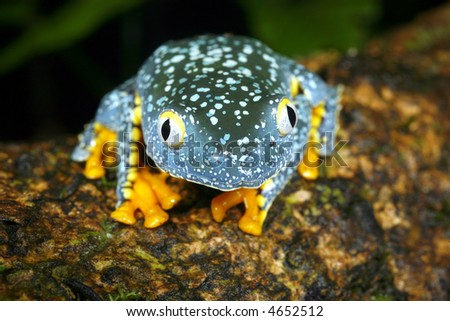 Amazon leaf frog (Cruziohyla craspedopus) - stock photo