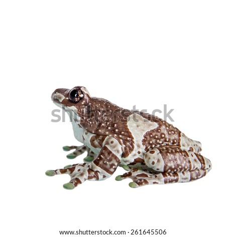 Amazon Milk Frog isolated on white - stock photo
