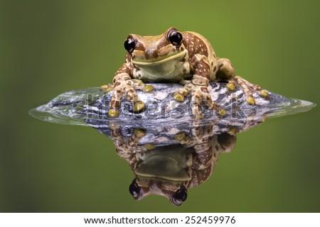 Amazon Milk Frog reflected in water/ Amazon Milk Frog/ Amazon Milk Frog (Trachycephalus Resinifictrix) - stock photo