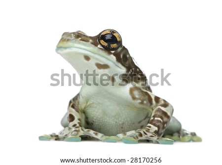 Amazon Milk Frog - Trachycephalus resinifictrix  in front of a white background - stock photo