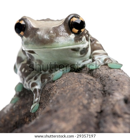 Amazon Milk Frog - Trachycephalus resinifictrix in front of a white background in front of a white background - stock photo