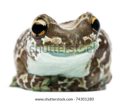 Amazon Milk Frog, Trachycephalus resinifictrix, in front of white background - stock photo
