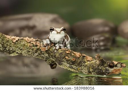 Amazon Milk Tree Frog - Animal Macro Photography - stock photo