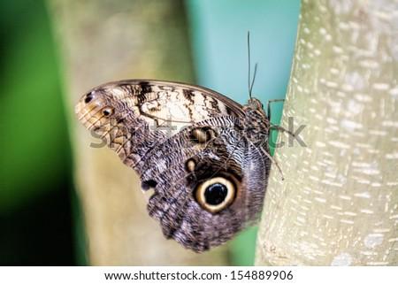 Amazon Morpho Butterfly on the tree - stock photo