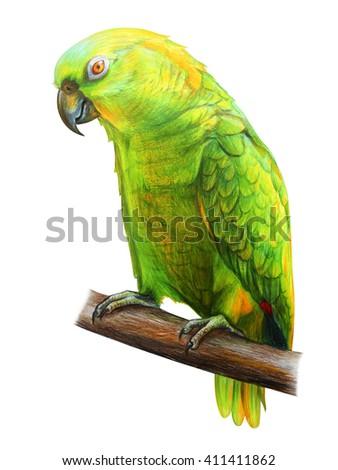 Amazon Parrot drawing. Amazona auropalliata. Colored pencil drawing Amazon Parrot. Classicdrawing Amazon Parrot. Detailed drawing Amazona auropalliata. - stock photo