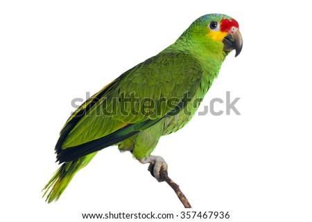 Amazon Parrot on whie - stock photo