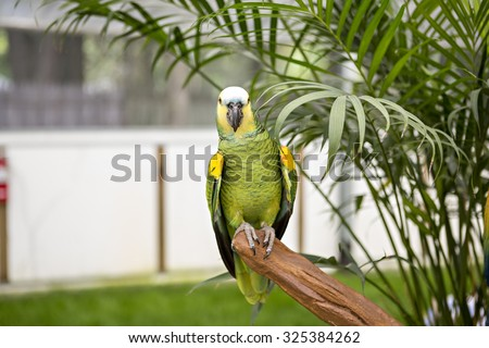 Amazon Parrot sitting on a perch inside - stock photo