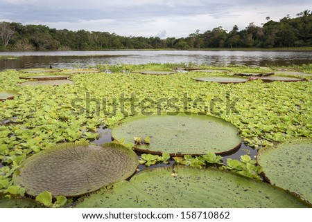 Amazon river covered with Victoria Lotuses - stock photo