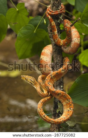 Amazon Tree Boa, Corallus hortulanus, southern Central American and northern South America. Controlled situation.