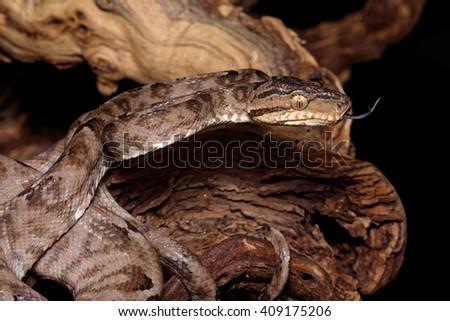 Amazon tree boa, or Garden tree boa (Corallus hortulanus) close-up on black background - stock photo
