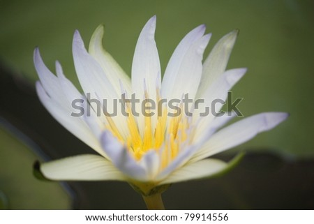 Amazon Water Lilly - stock photo