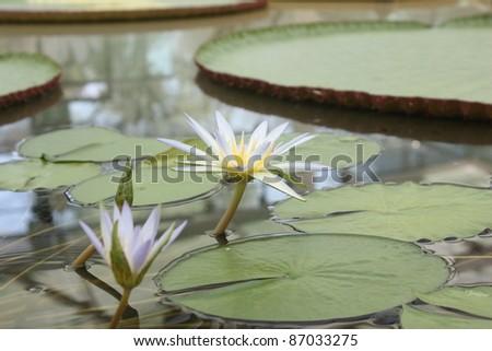 Amazon WaterLilly - stock photo