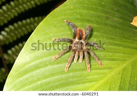 Amazonian tarantula - stock photo
