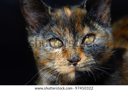 Amber cat eyes narrow in the bright sunshine.  Kitten is young and has mixed coloring of orange, brown and black.  Close up of kittens face. - stock photo