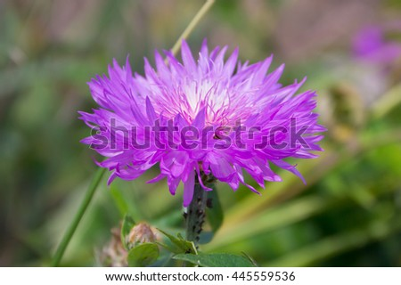 Amberboa, is a genus of herbaceous plants of the Aster family (Asteraceae). - stock photo