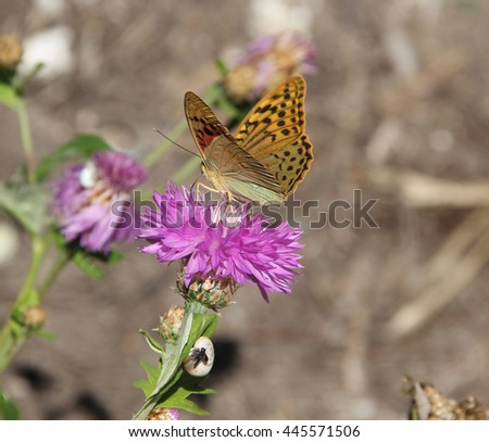 Amberboa, is a genus of herbaceous plants of the Aster family (Asteraceae).Argynnis pandora, the cardinal, is a butterfly of the Nymphalidae family - stock photo