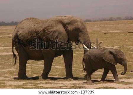 Amboseli ellis 6,04 - stock photo
