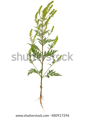 Ambrosia artemisiifolia, known as common ragweed, annual ragweed, and low ragweed, the entire plant