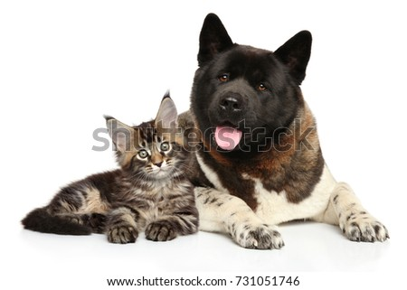 American Akita and Maine-Coon kitten posing together on white background