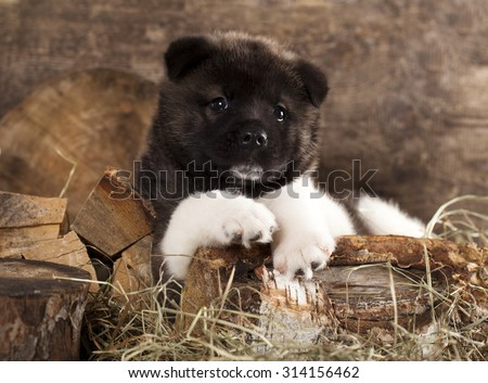 American Akita puppy - stock photo
