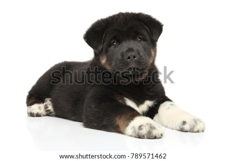 American Akita puppy lying down on white background. Baby animal theme