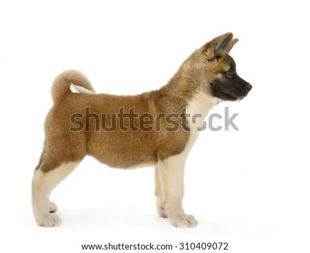 American Akita puppy stands, isolated on white background