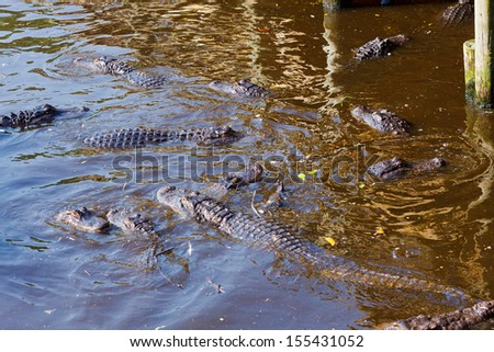 American Alligator, Alligator mississippiensis - stock photo