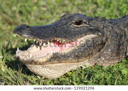 American Alligator (alligator mississippiensis) basking in the sun in the Florida Everglades
