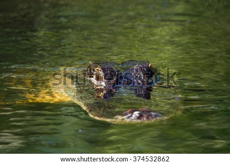 American alligator (Alligator mississippiensis) in Everglades National Park, Florida, USA - stock photo