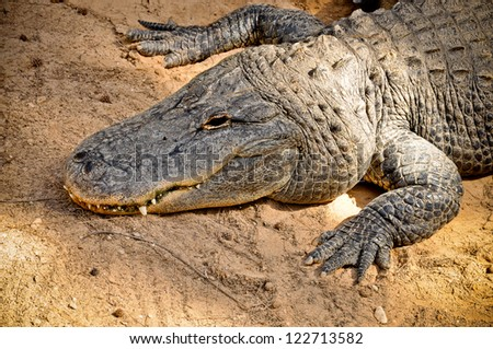 American alligator (Alligator mississippiensis) - predator from new world - stock photo