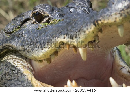 American alligator (Alligator mississippiensis) sight, Brazos Bend state park, Needville, Texas, USA. - stock photo