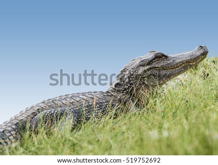American Alligator Basking in November Sun on Cameron Prairie in Southwestern  Louisiana