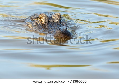 American Alligator bayou swamp - stock photo