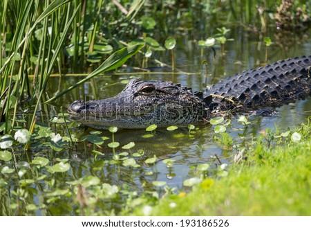 American Alligator in Florida Wetland - stock photo