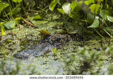 american alligator in natural habitat in south carolina