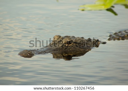 American alligator in the Florida Everglades - stock photo
