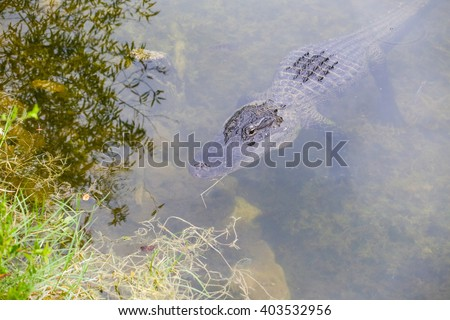 American alligator lurking on the riverbanks in the Everglades. The animal is close under the water surface, the eyes are above water. - stock photo
