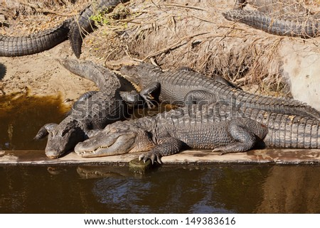 American Alligators on shore - stock photo