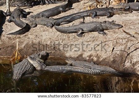 American Alligators on the bank, captive - stock photo