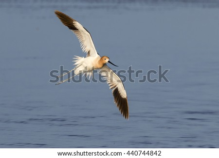 American avocet (Recurvirostra americana) flying over the ocean, Galveston, Texas, USA - stock photo
