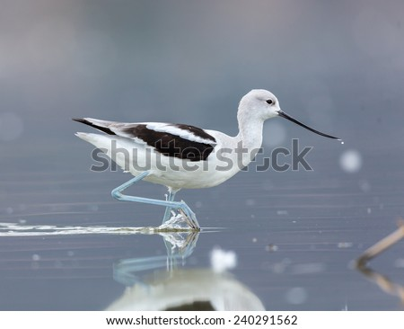 American Avocet searching for food in the afternoon sun. This photo could be used as a basis for a painting or watercolor. The pastel blue shade of the natural light makes an attractive background. - stock photo