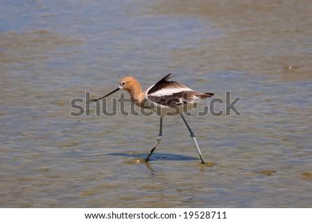 American Avocet wading in marshland - stock photo
