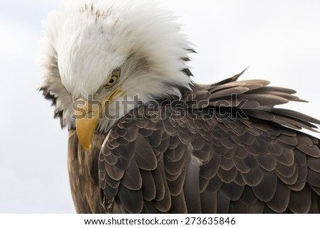 American Bald Eagle  - stock photo