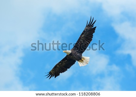 American bald eagle circling in the air - stock photo