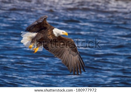 American Bald Eagle fishing along the Mississippi River - stock photo