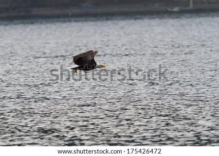 American bald eagle fishing in Coeur d' Alene lake, Idaho - stock photo