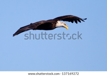 American Bald Eagle flying against a blue sky.